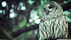 52-beautiful_owl-wallpaper-1920x1080